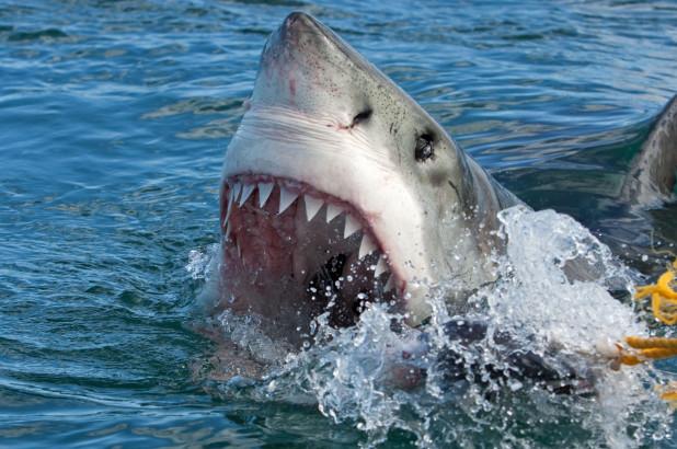 great-white-shark.jpg